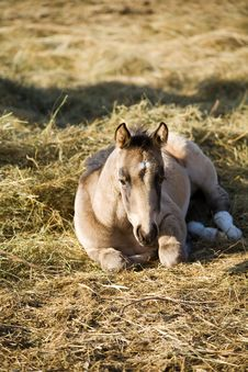 Free Quarter Horse Filly Royalty Free Stock Photography - 5007677