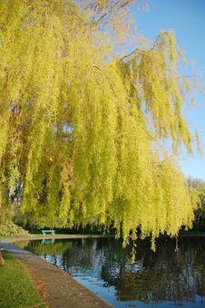 Free Lakeside Willow Royalty Free Stock Photo - 5008155