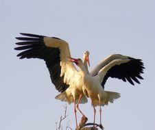 Free Stork Royalty Free Stock Image - 5008606