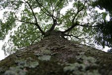 Free A Very Big Tree Bole Royalty Free Stock Photography - 5009107