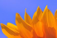 Free SunFlower Macro Series 1 Stock Image - 5009471