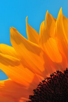 Free SunFlower Macro Series 2 Royalty Free Stock Images - 5009479