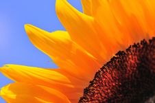 Free SunFlower Macro Series 3 Royalty Free Stock Photography - 5009487