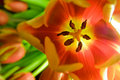 Free Red Tulip From Above Royalty Free Stock Images - 5013469