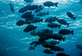 Free Black And White Snapper (Macolor Niger) Stock Photo - 5013930