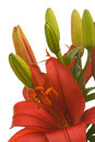 Free Stunning Asiatic Lily Bloom Royalty Free Stock Photography - 5014357