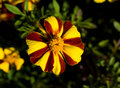 Free Yellow Red Flower Royalty Free Stock Photos - 5014938