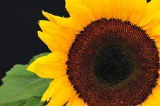 Free SunFlower Studio Series 20 Stock Images - 5010114