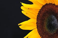 Free SunFlower Studio Series 21 Royalty Free Stock Image - 5010126