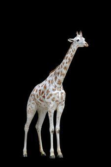 Free White Giraffe Isolated Royalty Free Stock Photos - 5010578
