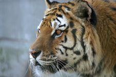 Free Tiger Stock Photo - 5010830