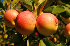 Free Red Apples And Leaves Royalty Free Stock Image - 5012066