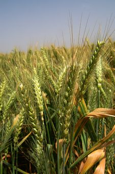 Free Wheat Royalty Free Stock Image - 5012196