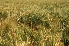 Free Green Wheat Field Royalty Free Stock Photography - 5012207