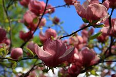 Magnolia - Pink Royalty Free Stock Image