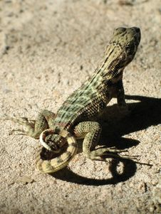 Free Lizard On A Rock Stock Photo - 5012390