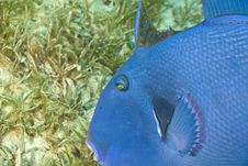 Free Blue Triggerfish (pseudobalistes Fuscus) Stock Photography - 5012672