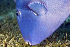 Free Blue Triggerfish (pseudobalistes Fuscus) Stock Image - 5012681