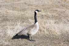 Free Canada Goose. Royalty Free Stock Images - 5012749