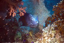 Free Red Sea Angelfish (Pomacanthus Maculosus) Royalty Free Stock Photography - 5012997