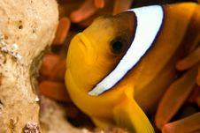 Free Red Sea Anemonefish (Amphipiron Bicinctus) Stock Photo - 5013270