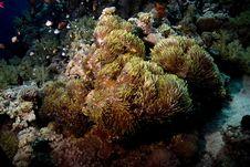 Free Red Sea Anemonefish (Amphipiron Bicinctus) Royalty Free Stock Photo - 5013295