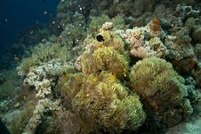 Free Red Sea Anemonefish (Amphipiron Bicinctus) Stock Images - 5013324