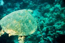 Free Hawksbill Turtle (Eretmochelys Imbricata) Royalty Free Stock Images - 5013329