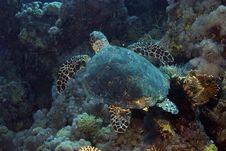 Free Hawksbill Turtle (Eretmochelys Imbricata) Royalty Free Stock Photos - 5013338