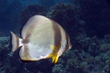 Free Orbicular Spadefish (platax Orbicularis) Royalty Free Stock Photography - 5013357