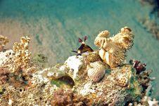 Red Sea Nembrotha (Nembrotha Megalocera) Stock Images