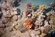 Free Lionfish (pterois Miles) Royalty Free Stock Photos - 5013408