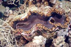 Free Fluted Giant Clam (tridacna Squamosa) Royalty Free Stock Photo - 5013415