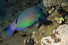 Free Parrotfish Stock Images - 5013424