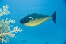 Free Sleek Unicornfish (naso Hexacanthus) Stock Image - 5013511