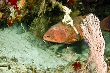 Free Red Sea Coralgrouper (Plectropomus Pessuliferus) Royalty Free Stock Photos - 5014018