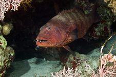 Free Red Sea Coralgrouper (Plectropomus Pessuliferus) Stock Images - 5014024
