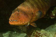 Free Red Sea Coralgrouper (Plectropomus Pessuliferus) Stock Photo - 5014030