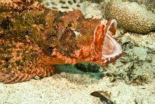 Free Smallscale Scorpionfish (Scorpaenopsis Oxycephala) Royalty Free Stock Image - 5014056