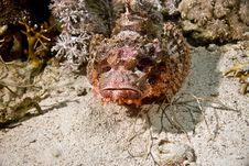 Free Smallscale Scorpionfish (Scorpaenopsis Oxycephala) Stock Photo - 5014060