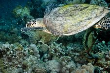 Free Hawksbill Turtle (Eretmochelys Imbricata) Royalty Free Stock Photo - 5014165