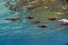 Free Common Reef Squid (sepiotheutis Lessoniana) Stock Photography - 5014222