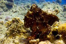 Free Reef Octopus (octopus Cyaneus) Stock Image - 5014251