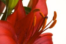 Beautiful Asiatic Lily Bloom Stock Photos