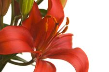 Beautiful Asiatic Lily Bloom Royalty Free Stock Photography