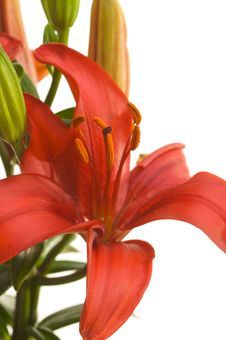Free Beautiful Asiatic Lily Bloom Stock Photo - 5014330
