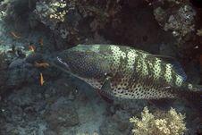 Free Red Sea Coralgroupers (Plectropomus Pessuliferus) Royalty Free Stock Photos - 5014338
