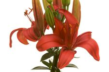 Free Beautiful Asiatic Lily Bloom Stock Photos - 5014353