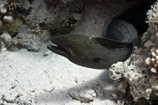 Giant Moray (gymnothorax Javanicus) Stock Photo