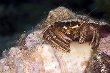 Free Reef Hermit Crab (dardanus Lagopodes) Royalty Free Stock Photo - 5014475
